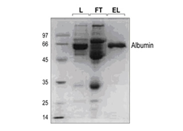 Depletion of Albumin From Human Plasma Using AcroSep Columns