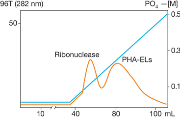 HA Ultrogel: Separation of a Mixture of Ribonuclease and Phytohemagglutinins (PHA-EL)